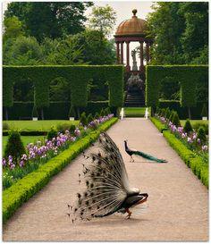 ~ English Garden ~ Peacocks in formal garden Schwetzingen, Germany Formal Gardens, Outdoor Gardens, Landscape Architecture, Landscape Design, Theodora Home, Palace Garden, Manor Garden, Exterior, Dream Garden