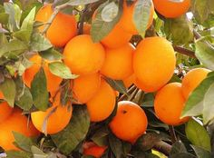 oranges.  Almost always have a bowl full sitting on the dining room table for passerby snackers.
