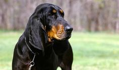 Black and Tan Coonhound dog face