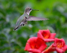 Anna's hummingbird-on trumpet vine (Art-photography- images- by  Rae Ann M. Garrett -_ RaeAnn Garrett)