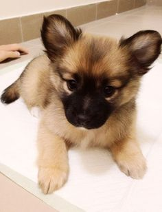 pomeranian pug mix puppies for sale Cute Baby Animals, Animals And Pets, Funny Animals, Puppies For Sale, Dogs And Puppies, Doggies, Funny Puppies, Funny Dogs, Pet Dogs