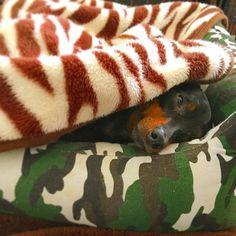 . 目は開いてるけど寝てます(•ω•) . 朝はいつもこんな感じでぼーっとしてる('ω') . .  #ミニピン #ミニチュアピンシャー #チャーリー #犬 #愛犬 #minipin #minpin #minpins #miniturepinscher #charlie #dog #dogstagram #minpinstagram #犬バカ部 #petoftheday #petofthedayjp #instadog #ミニピンなしでは生きていけません会