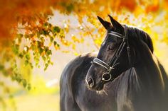 Portrait of black horse in autumn - Stock Photo , Horse Background, Black Horses, Horse Stables, Black Animals, Horse Photography, Horse Care, Fall Photos, Horse Breeds, Equestrian Style