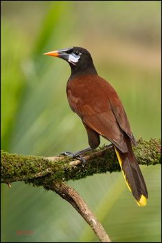 Montezuma Oropendola (Psarocolius montezuma) female, perched on branch at the low lands of Costa Rica