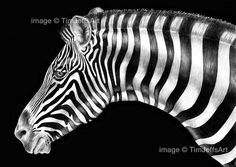 Zebra Ink Drawing by TimJeffsArt on Etsy, $50.00
