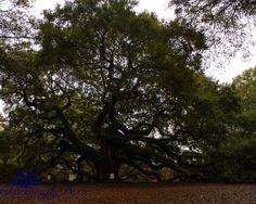 Angel Oak Johns Island SC  signed matted print by CharminglyDixie, $30.00