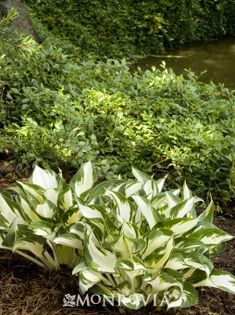 Fire and Ice Hosta - A favorite for adding some brightness to the shade garden. Looks best in block plantings due to ts smaller size. Great for a shady entryway where white will show up in the dark. Landscape :: Credit: Doreen Wynja