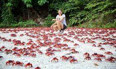 30 raros e deslumbrantes fenômenos naturais - Caranguejos vermelhos da Ilha de Natal: Todo ano, aproximadamente 43 milhões de caranguejos migram para colocar seus ovos no mar. A maioria das estradas são fechadas pelas autoridades durante a migração, que geralmente acontece por 7 dias.