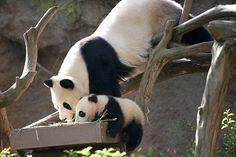 Bai Yun & Xiao Liwu 2.3.2013 RitaPetita 1127 | Flickr - Photo Sharing!