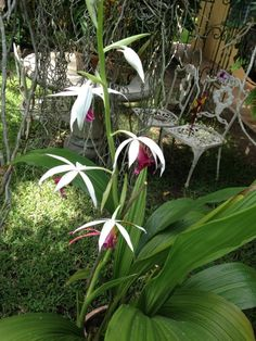 Spring Orquid at Honduras