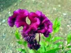 coxcomb flower picture - Bing Images