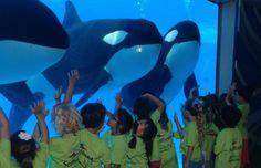 O SeaWorld anunciou nesta quinta-feira (17) que a atual geração de orcas de sua rede de parques aquáticos é a última que manterá sob seus cuidados.