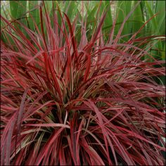 The FIRST Variegated Purple Fountain Grass! Pennisetum Fireworks ('Fireworks' Pennisetum setaceum 'Rubrum' USPP is the first purple fountain grass that is more than just 'purple'. 'Fireworks' breaks color barriers with a deep maroon-purple cente Outdoor Plants, Garden Plants, Outdoor Gardens, Backyard Plants, Container Plants, Container Gardening, Container Size, Red Fountain Grass, Foxtail Grass