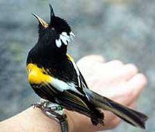 Stitchbird/hihi: New Zealand native land birds Sea Birds, Love Birds, Beautiful Birds, Moving To New Zealand, Bird Drawings, Birds Eye View, Colorful Birds, Bird Species, Bird Feathers
