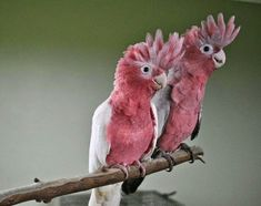 BEAUTIFUL PINK-COLORED BIRDS, pink bird, pink birds, pink-colored birds, beatiful birds, animal with pink, beautiful animals, amazing animals, American Flamingo, Pine Grosbeak, Roseate Spoonbill, Brown-capped Rosy-Finch, Southern Carmine Bee-eater, Pink-headed Fruit Dove, Rose-Breasted Cockatoo, White-winged Crossbill, Himalayan White Browed Rosefinch, Pink Robin #BEAUTIFUL PINK-COLORED BIRDS  #pink bird  #pink birds  #pink-colored birds  #beatiful birds   #animal with pink  #beautiful…