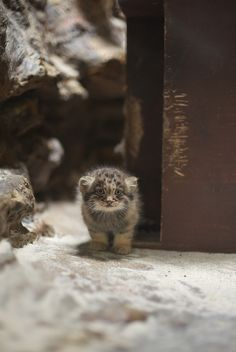 A collection of cute, cuddly, strange and funny cats from around the web, they are all cute and they are all Wuvely! Small Wild Cats, Small Cat, Big Cats, Cats And Kittens, Animals And Pets, Baby Animals, Cute Animals, Felis Manul, Pallas's Cat