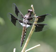 Common white tail dragon fly