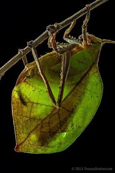 Leaf Mimicking Katydid - Belize, this is why I don't like nature! there are just too many creepy creatures out there! Cool Insects, Bugs And Insects, Beautiful Bugs, Amazing Nature, Beautiful Creatures, Animals Beautiful, Mantis Religiosa, Photo Animaliere, Cool Bugs