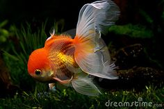 Oranda goldfish, some of the friendliest, most beautiful goldfish.