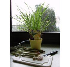 Cymbopogon citratus / Citrónová tráva, K12 Ale, Plants, Ale Beer, Plant, Ales, Planets, Beer