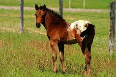 Blanket Appaloosa Horses | Appaloosa - Pferde kaufen und verkaufen - pferde.de
