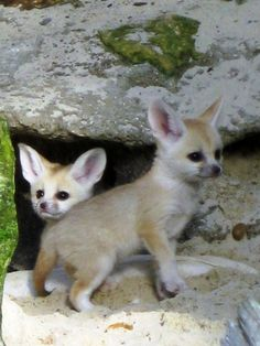 Cute baby Fennec foxes!