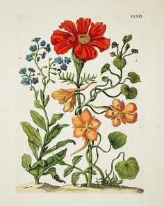 Maria Sibylla Merian - Botanical Plate with Marigold and Nasturtiums, 1730