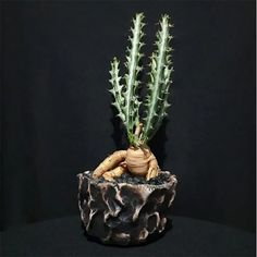 EUPHORBIA KNUTHII Grab your Rare Succulents and cactus online. Worldwide Shipping. esucculent.com Buy Succulents Online, Succulents For Sale, Rare Succulents, Planting Succulents, Planting Flowers, Best Indoor Plants, Outdoor Plants, Air Plants, Outdoor Gardens