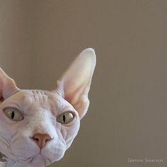 Sphynx Hairless Cat, Opal