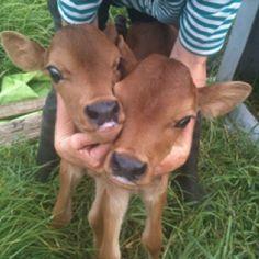 Jersey cow calves