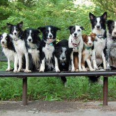 Border Collies. These dogs are so frickin smart, it's pitiful.