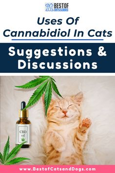 Uses Of Cannabidiol In Cats-(CBD) Oil Has Been Known For Its Ability To Help Animals As A Natural Treatment For Their Health Issues. CBD Can Potentially Treat Several Different Health Issues Including The Following: Anxiety, Infections, Inflammation, Joint Pain, Allergies, And...Read More Here! #CBDoil #Cannabidiol #CBDoilTips #CatCare #CatLove #CatOwnerTips Funny Cute Cats, Silly Cats, Cute Cat Gif, Cool Cats, Talking Cat Video, Best Cat Gifs, Cat Health Care, Cats Tumblr, Cat Care Tips
