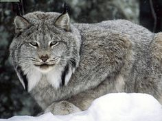 unusual cats | The Canadian Lynx