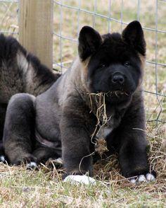 Akita puppy...this pup looks part oran-utan! And very adorable!