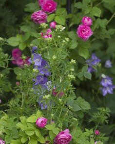Cottagegarden med 'Louise Odier', kattost og fagerklokke #cottagegarden #bourbonrose #pink #countryliving #hagenpaafredholm