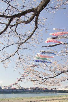 Koinobori (carp streamers) and sakura (cherry blossoms)/Kitakami- Kitakamitennshouchi