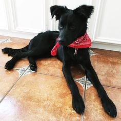 || All I want for Christmas is a family. This little guy is currently a foster pup with @lexdertinger  @coach_chuck.d -- give yourself the gift of a best friend for life by adopting this guy! [A] #OUTINON #AdoptDontShop #RescuesofInstagram