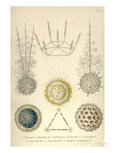 Ethmosphaera Siphonophora, Cyrtidosphaera Reticula, Arachnosphaera, A. Oligacantha, etc. Prints by Ernst Haeckel - AllPosters.ca
