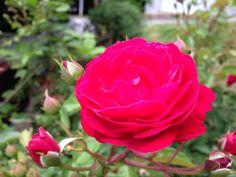 Mama's rose
