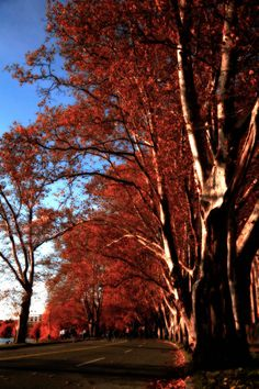 The Sycamores on Memorial Drive by tncphoto on Etsy, $8.99