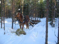 Koti, Horse Breeds, Finland, Old Things, Horses, Dreams, Animals, Historia, Animales