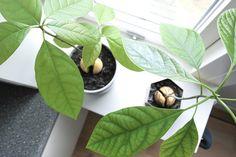 Det er ikke nemt at få den hårde avocadosten til at vokse sig til et frodigt træ, men med vores 9 tips bliver det lidt lettere.