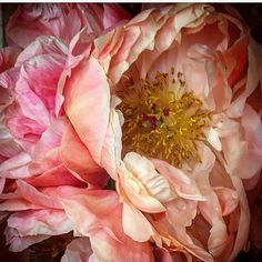 erd Peonies at Coles # Paper Flowers, Pink Flowers, The Constant Gardener, Spring Scene, Parrot Tulips, Macro Flower, Botany, Container Gardening, Shrubs