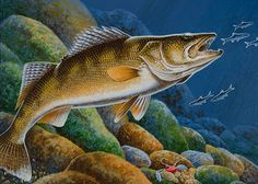 Turenne wins 2017 walleye stamp contest Mankato Times Richfield artist Timothy Turenne won the 2017 Minnesota Walleye Stamp contest. The painting was selected by judges from among eight entries for the annual contest sponsored by the Minnesota Department of Natural Resources. Turenne's painting of a walleye foraging on minnows will be featured on the 2017…