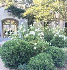 I like gardens that have a combination of formal and informal. Our clipped Little Ollies add some formality to our front garden while our white roses provide that bit of lovely chaos. #patinafarm #Ojai