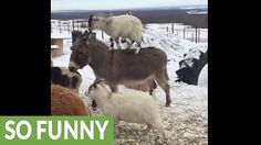 #goatvet likes this video of a goat riding on the back of donkey