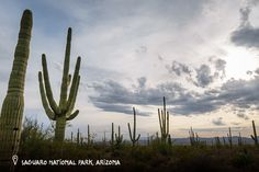 Saguaro National Park, Arizona. Saguaro National Park cacti live an average of 150 to 175 years, but can live for more than 200 years. The tallest ever measured was 78 feet tall, but typically they reach about 45 feet.