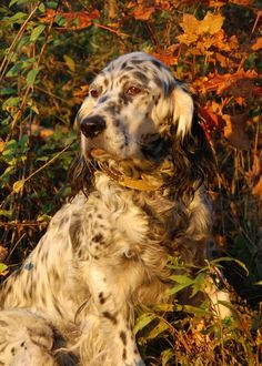 The type of specialized foot hunting English setters developed by George Ryman, kept alive today by dedicated hunter/breeders.