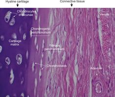 Histology: Hyaline Cartilage with Perichondrium Hyaline Cartilage, Neon Signs, School
