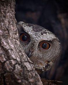 Indian Scops Owl via Owl Photos, Owl Pictures, Owl Habitat, Photo Animaliere, Barred Owl, Beautiful Owl, Wise Owl, Backyard Birds, Animal Totems